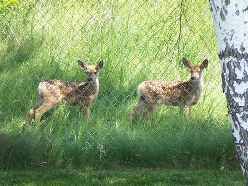 Twin speckled fawns eyeing flowers in cemetery